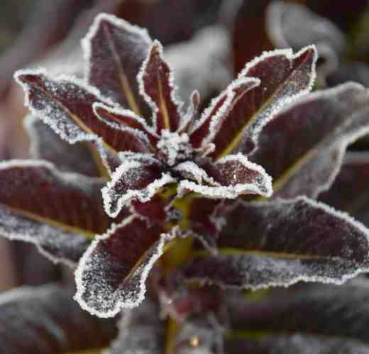 Iced bolted lettuce