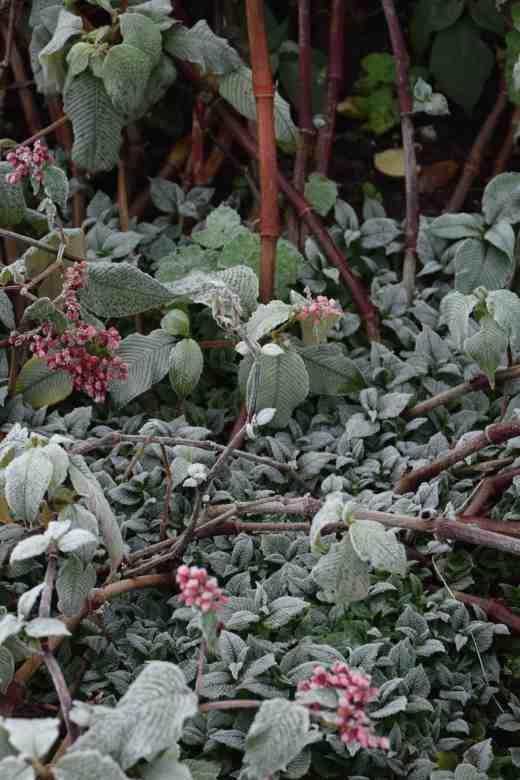 Persicaria campanulata feeling the cold