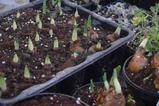 poinsettia regrowth4