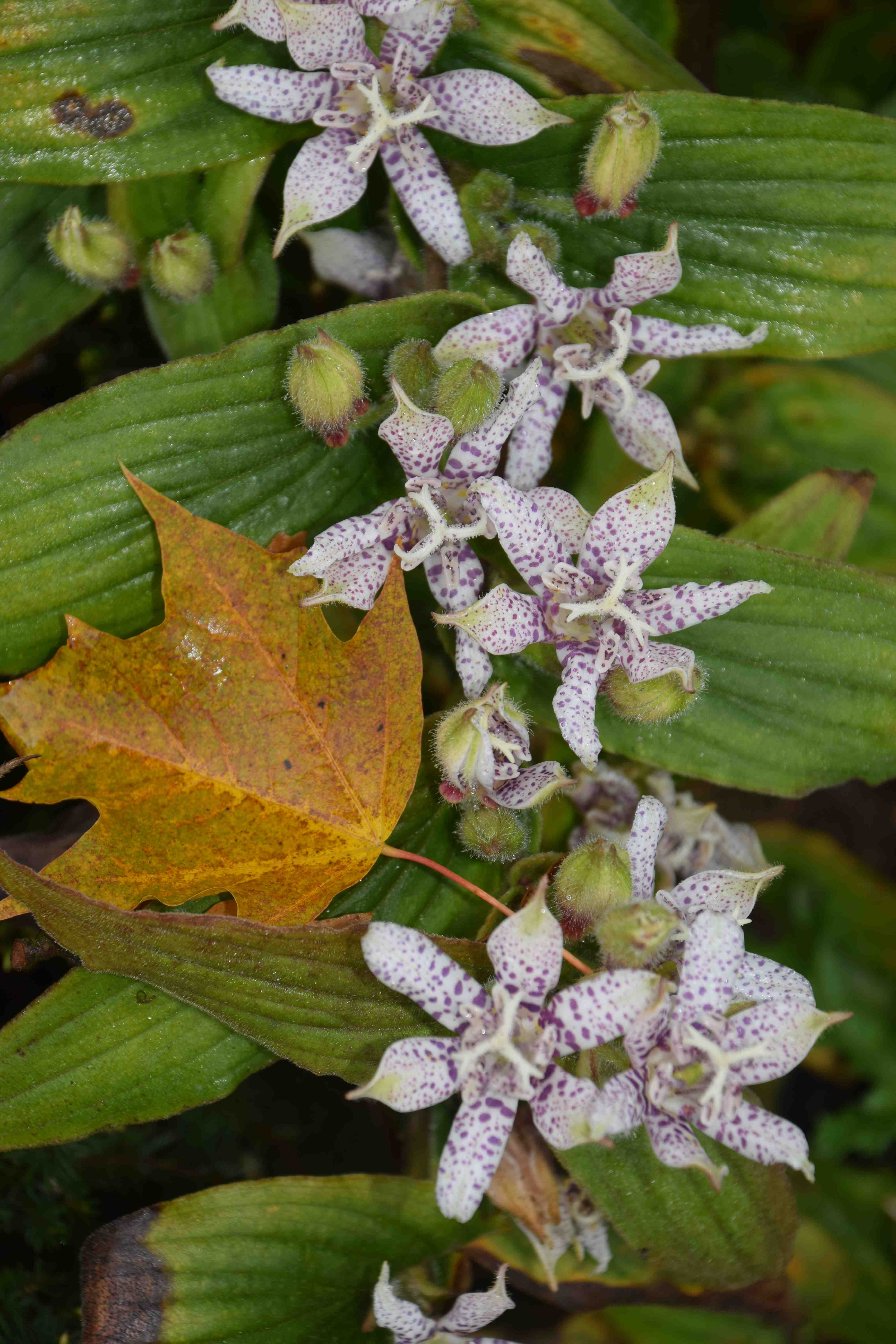 Just when you thought it was all over toad lilies the biking gardener tricyrtis are named for the three lumps kyrtos at the base of the flowers there are six petals six stamens and an intricately branched stigma and izmirmasajfo