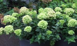 Hydrangea-paniculata-'Jane'-Little-Lime-–-photo-Valkplant-kl1-300x181