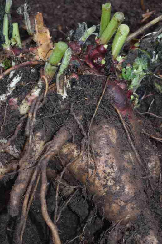 yacon harvest2