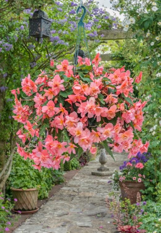Begonia 06-364-37