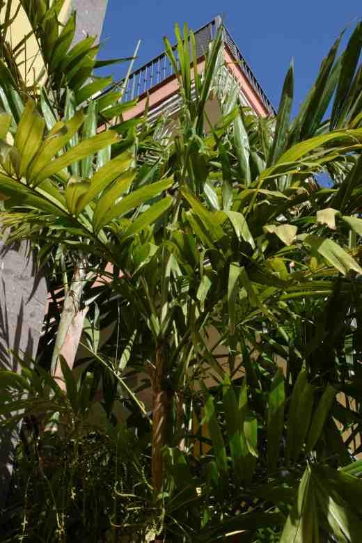 ptychosperma macarthurii2