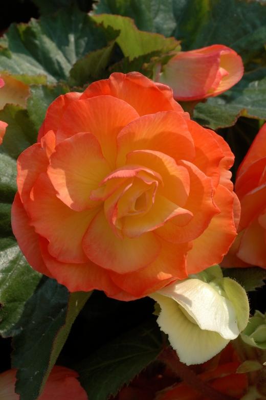 Begonia aromantica T&M 7-062