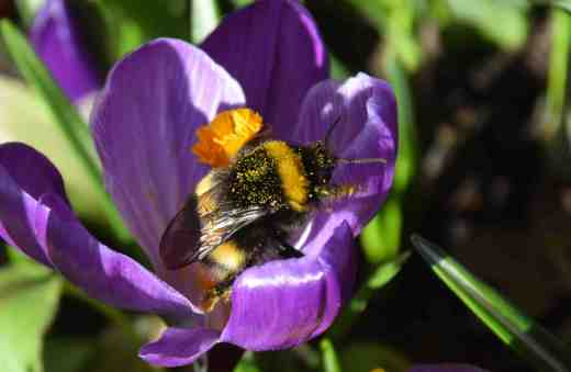 crocus vernus bee