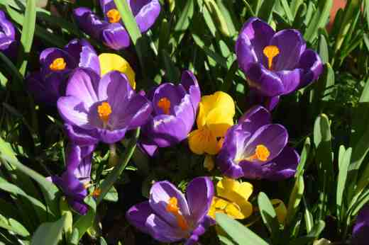 crocus vernus bee2