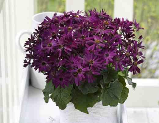 Pericallis-Senetti-Grape-photo-Moerheim-New-Plant copy