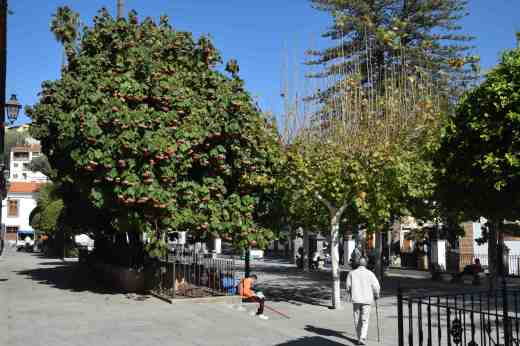 A large dombeya providing shade and colour in the Alameda
