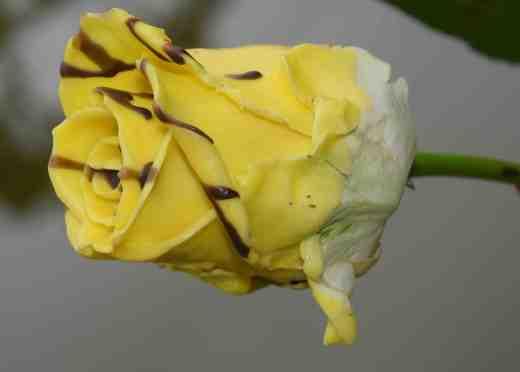 horrid rose copy
