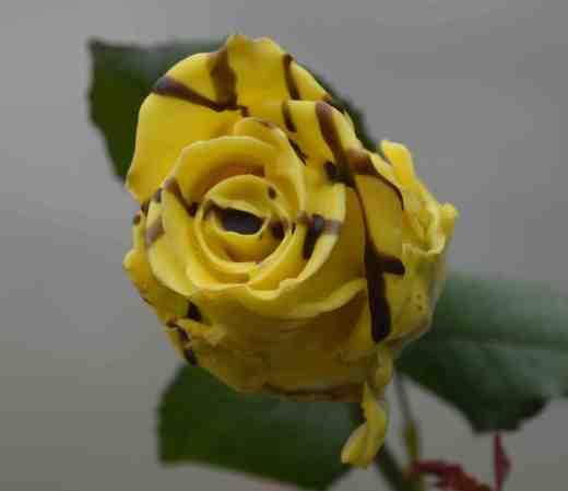 horrid rose2 copy