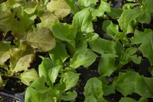letuce seedlings 16