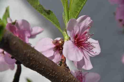peach blossom 16 2
