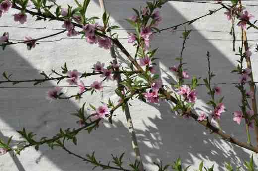peach blossom 16 3