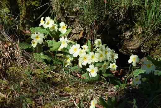 primrose wild