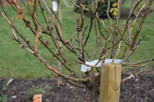 rose prun