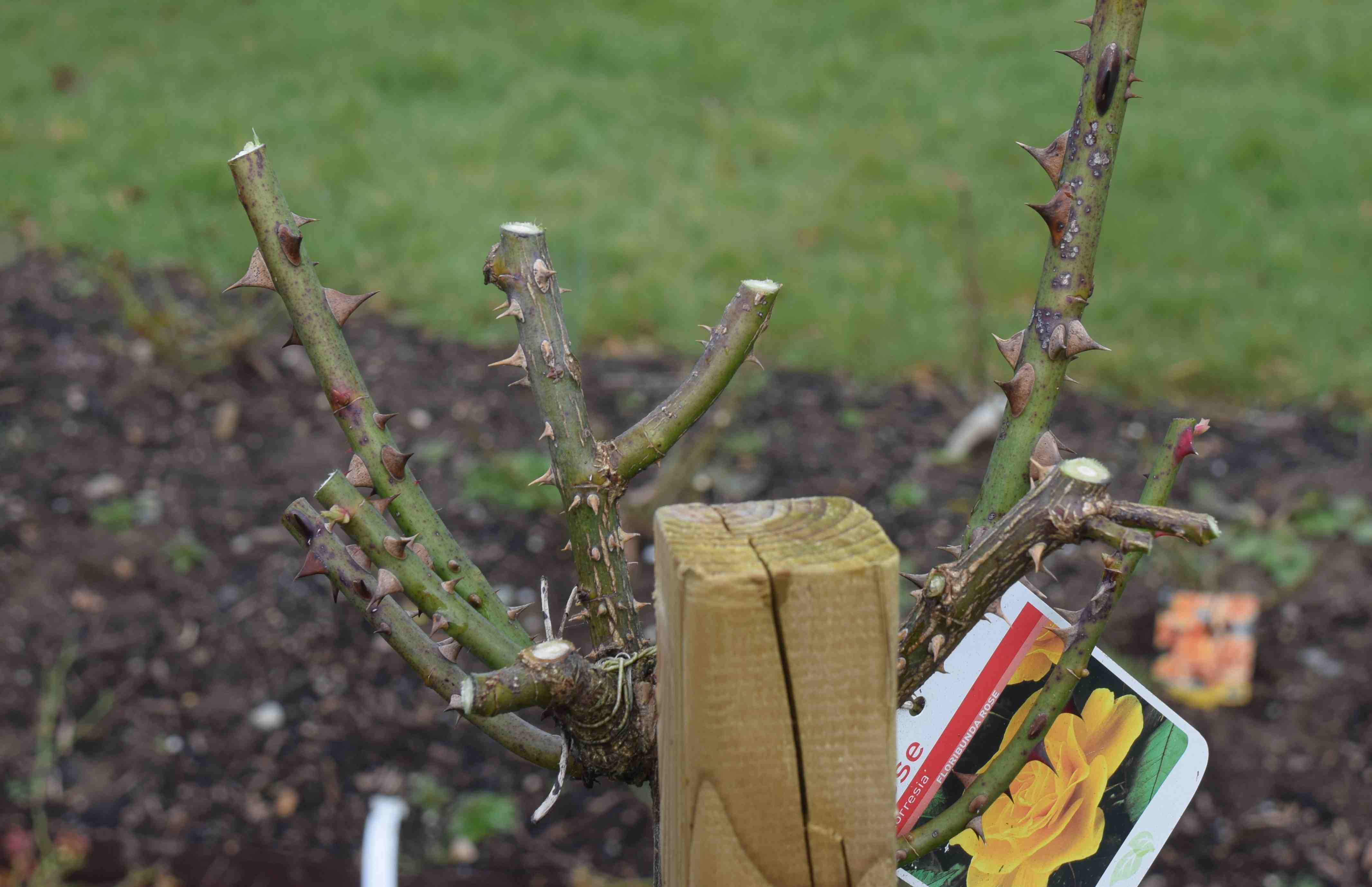 How to prune a rose bush - So Here Is The Rose Pruned With Just One More Shoot To Cut Back I Do Not Always Think That Hybrid Tea Large Flowered Roses Are Very Satisfactory For