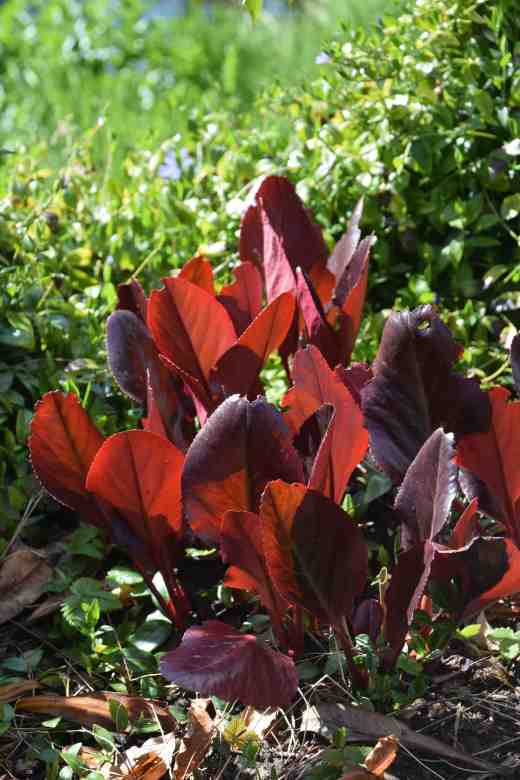 berg purpurascens Irish crimson