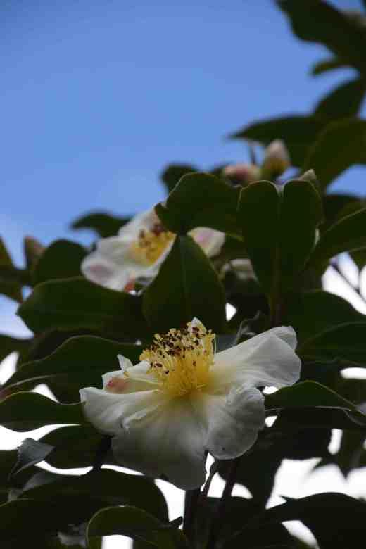 gordonia yunnanensis2