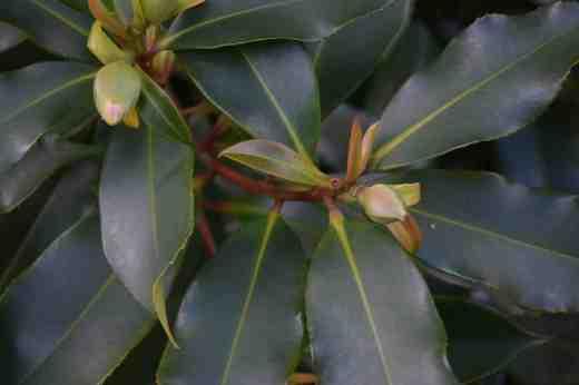 gordonia yunnanensis4