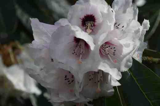 Rhododendron montroseanum