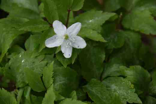 anemone trifol