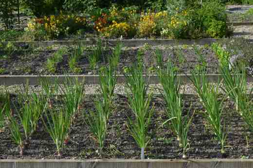 onions 162