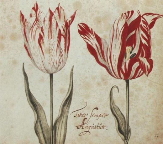 tulip semper Augustus