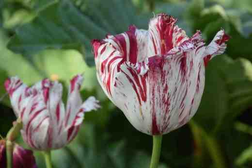 tulip virus