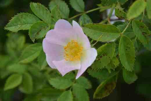 rosa cana
