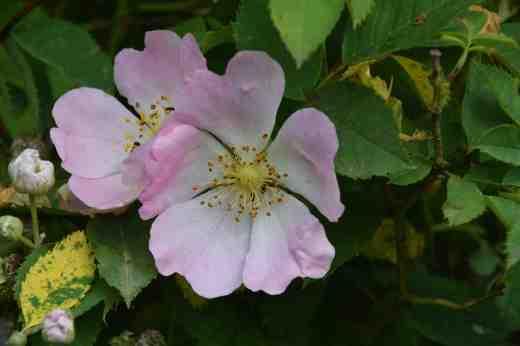 rosa canina 2
