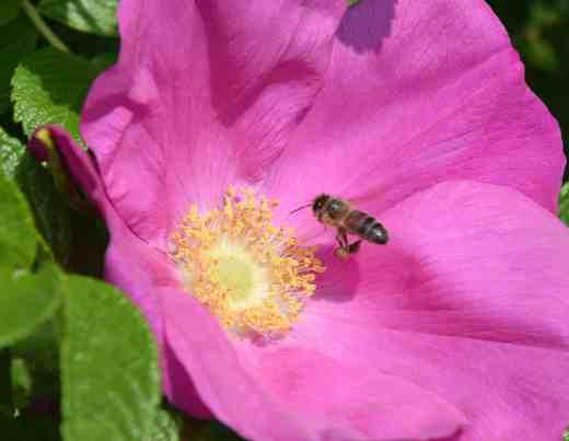 rosa rug bee