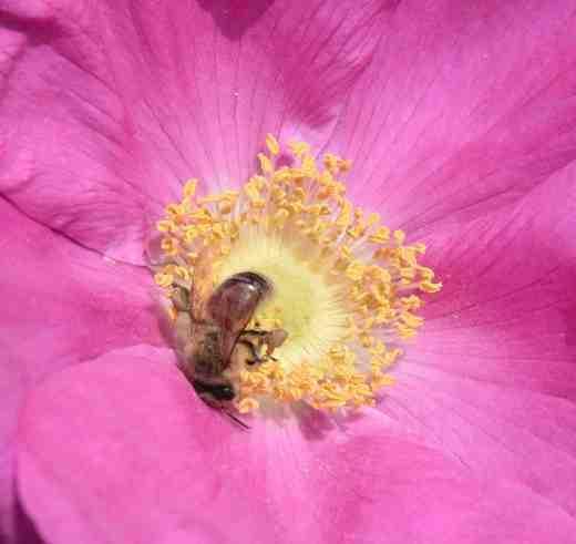 rosa rug bee2
