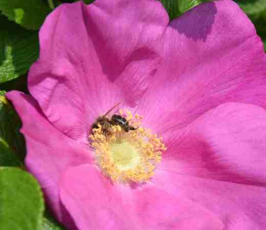 rosa rug bee3