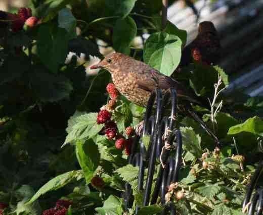 blackbirds eating 2