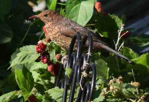 blackbirds eating 5