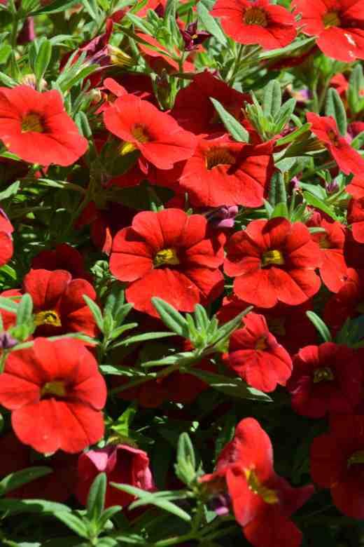 callibrachoa cabaret scarlet improved