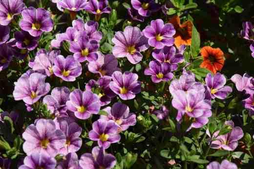 callibrachoa cabaret Violet glint New