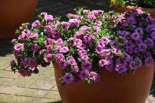callibrachoa cancan dble pink vein pot
