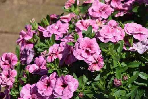 callibrachoa cancan double pink vein