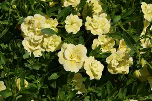 callibrachoa cancan double yellow