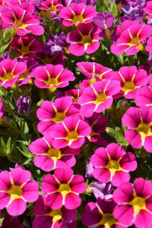 callibrachoa starlight pink2 New