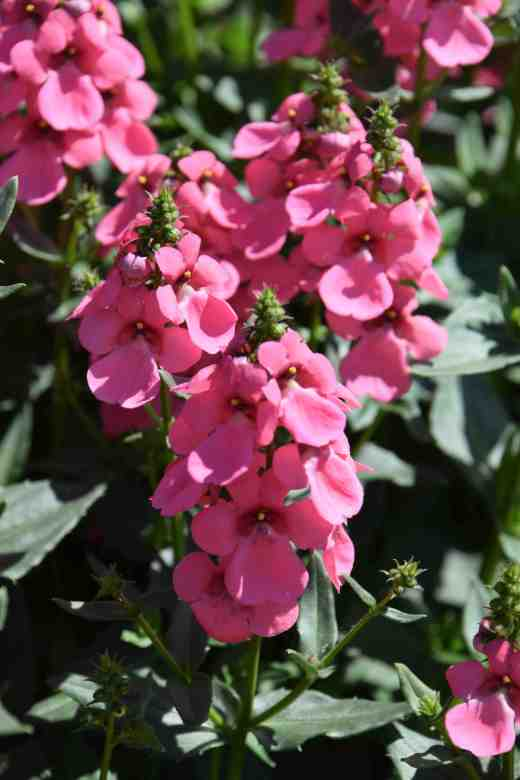 'Aurora Light Pink'