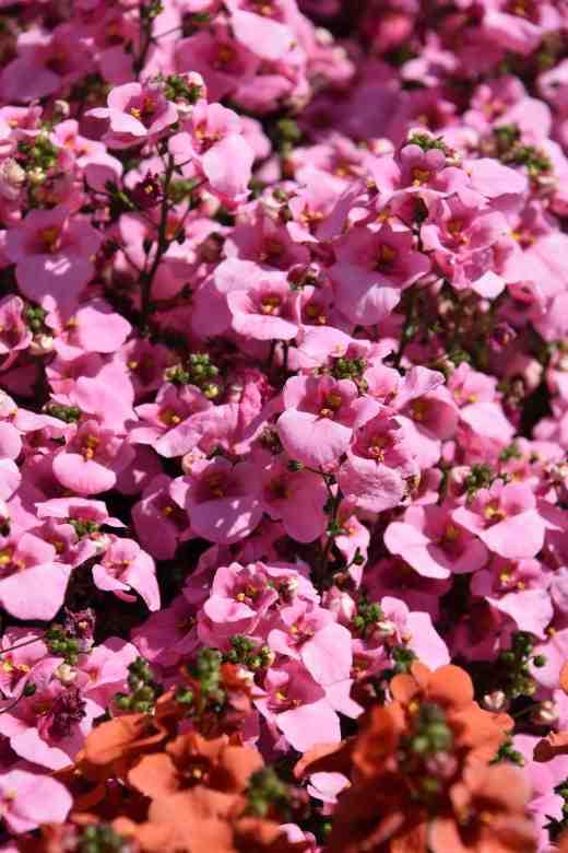 'Juliet Light Pink'