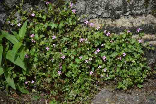 geranium lucidum2