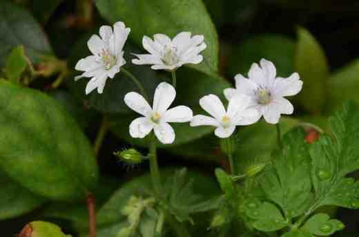 geranium pyrenn white