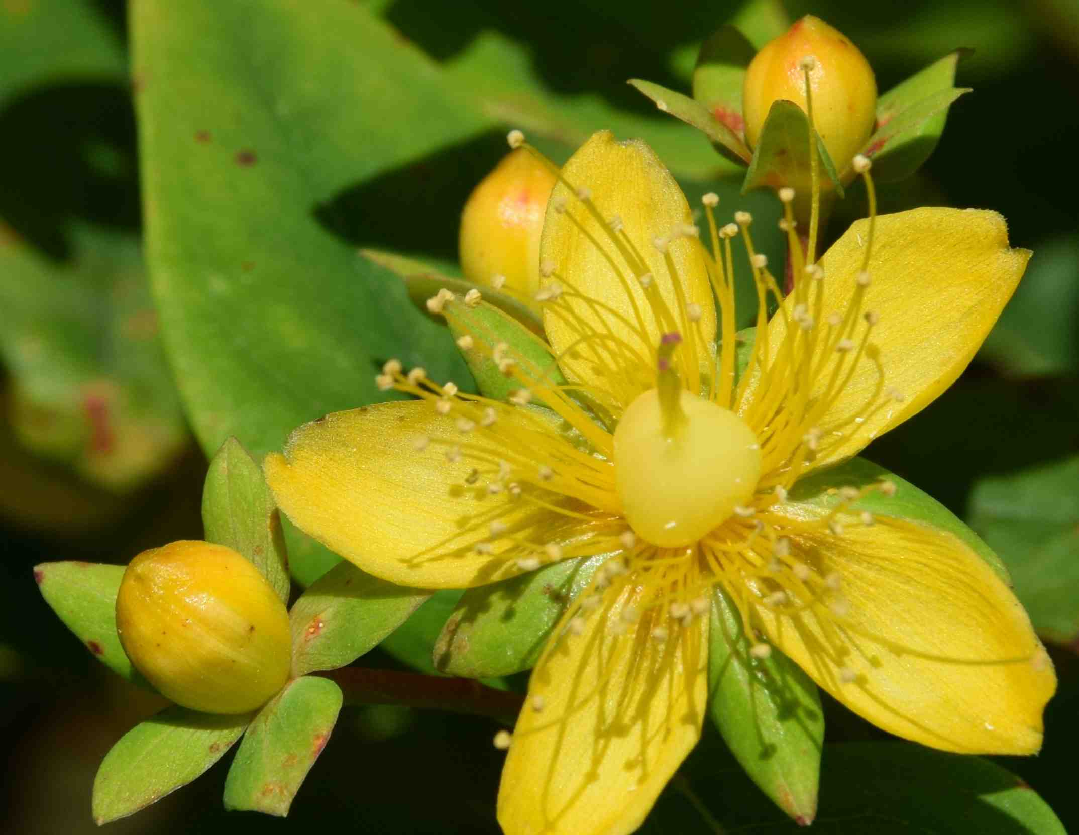 Hypericum the biking gardener i have to confess that i am no fan of hypericums which is a bit strange considering how pretty the flowers are the five petals contrast with the mass of mightylinksfo