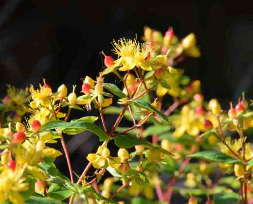 hypericum fls jul2