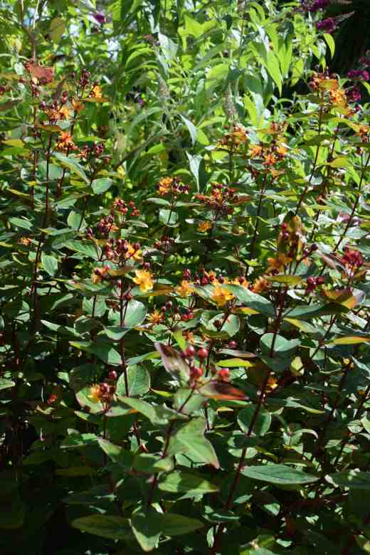 hypericum red july