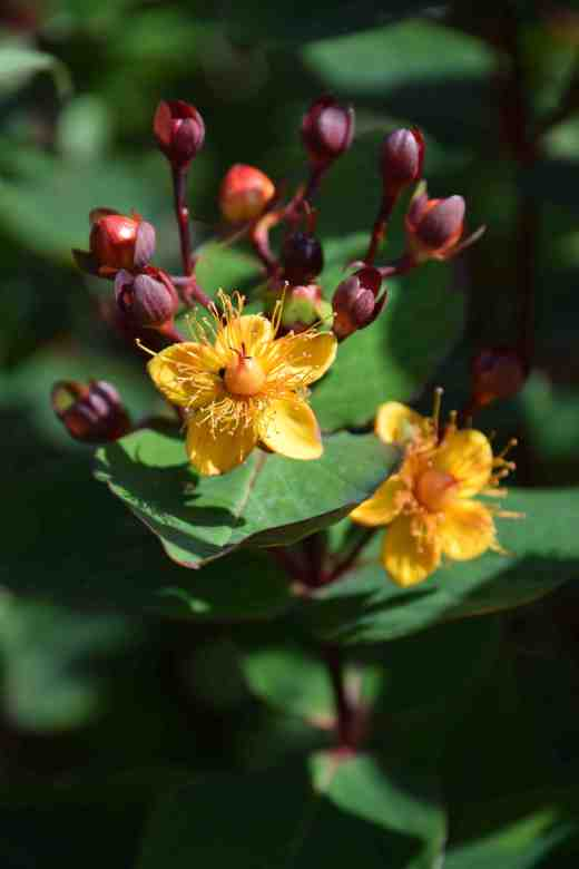 hypericum red july2